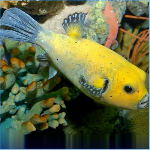 Golden Pufferfish or Guineafowl Puffer