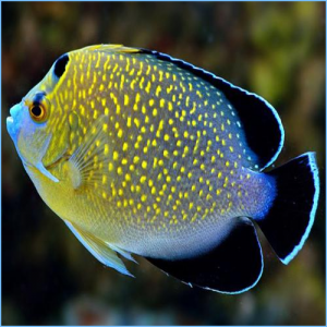Goldflake Angelfish or Gold-Spangled Angelfish
