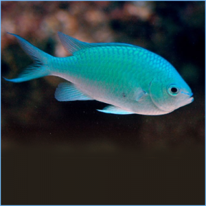 Green Chromis Damselfish