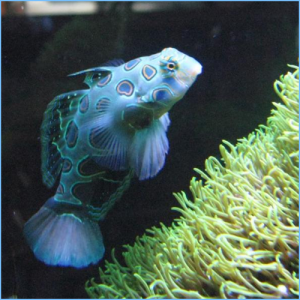 Green Mandarin Goby or Striped Green Mandarinfish