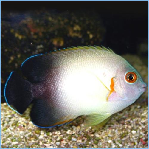 Half Black Angelfish or Pearlscale Angelfish