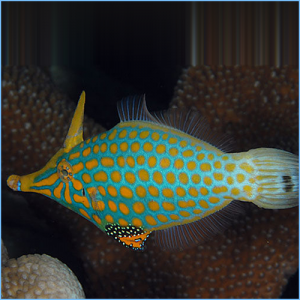 Harlequin Filefish or Orange Spotted Filefish