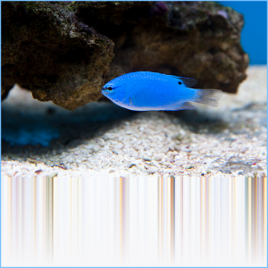 Hedley's Damselfish