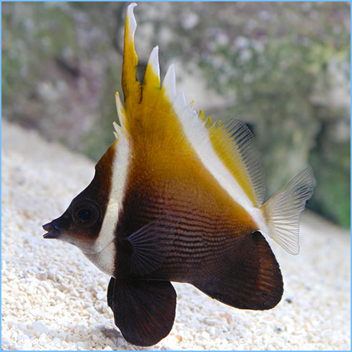Heniochus Brown Butterflyfish or Humphead Bannerfish