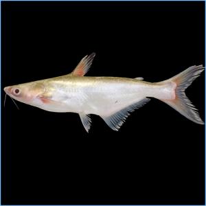 Iridescent Shark or Siamese Shark