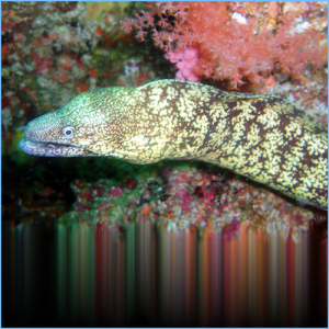 Kidako Moray Eel