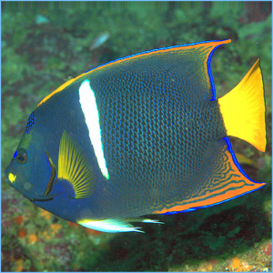 King Angelfish or Passer Angelfish