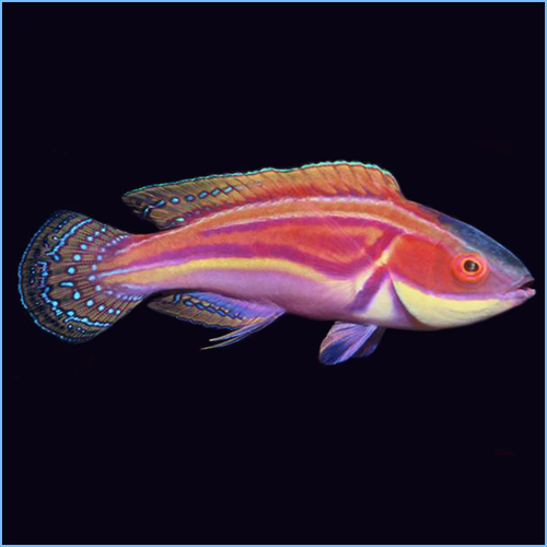 Labout's Fairy Wrasse or Labouti Wrasse