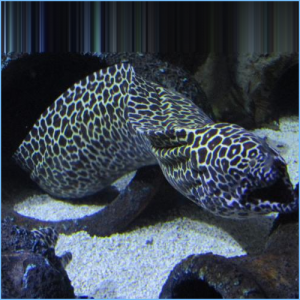 Leopard Moray Eel or Dragon Moray Eel