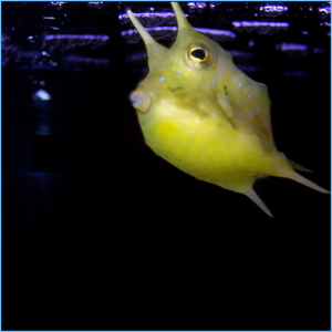 Longhorn Cowfish or Horned Boxfish