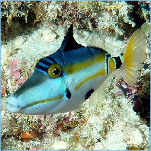 Lunula Australian Triggerfish or Halfmoon Triggerfish