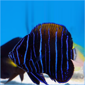Majestic Angelfish Juvenile