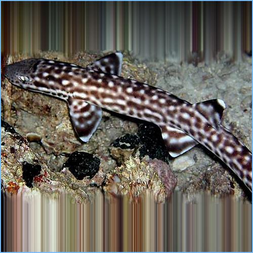 Marble Cat Shark