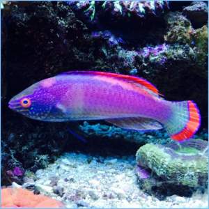 Marginatus Fairy Wrasse or Pink Margin Fairy Wrasse
