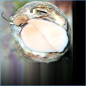 Mexican Turbo Snail or Turban Shell Snail