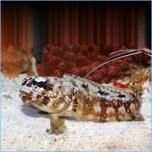 Moustache Jawfish