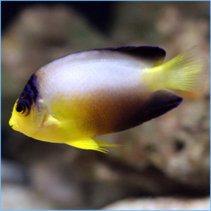 Multicolor Angelfish or Pastel Pygmy Angelfish