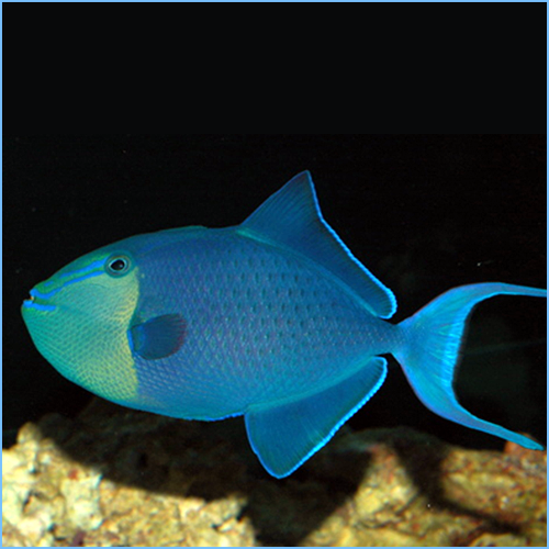 Niger Pacific Queen Triggerfish