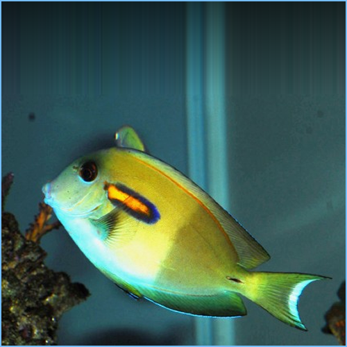 Orange Shoulder Tang or Orange Epaulette Surgeonfish