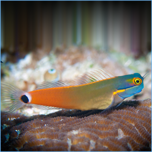 Orange Tail Blenny