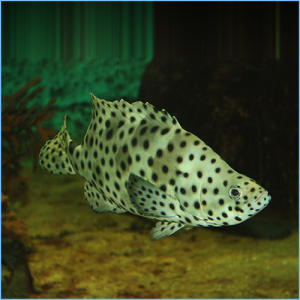 Panther Grouper Fish or Polka Dot Grouper