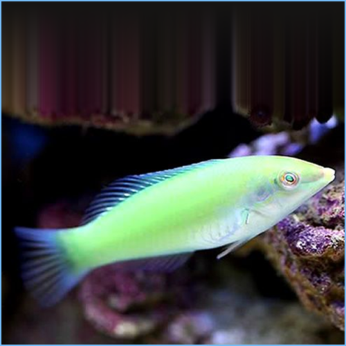 Pastel Green Wrasse or Green Coris