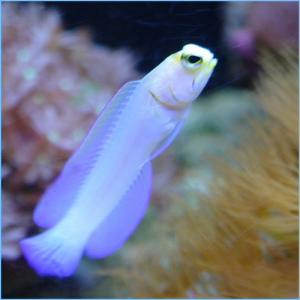 Pearly Jawfish or Yellowhead Jawfish