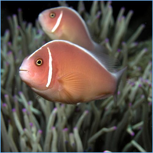Pink Skunk Clownfish or Pink Anemonefish