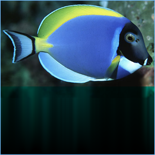 Powder Blue Tangfish or Powder Blue Surgeonfish