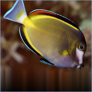 Powder Brown Tang or Powder Brown Surgeonfish