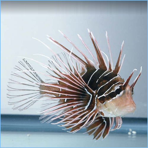 Radiata Lionfish or Radial Firefish