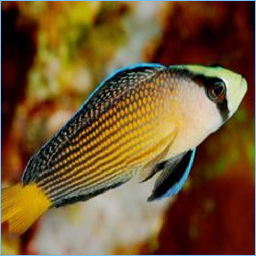 Rainbow Dottyback