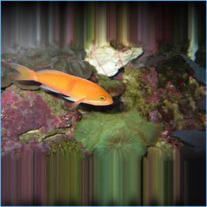 Red Fairy Anthia or Tricolor Anthias