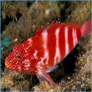 Red Hawkfish or Soaring Hawkfish