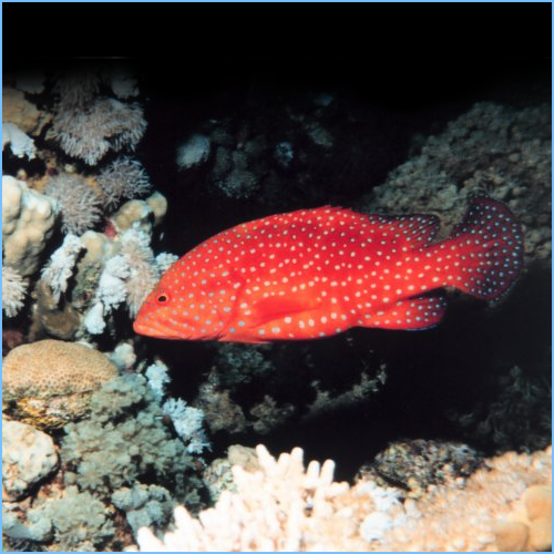 Red Miniatus Grouper or Coral Blue-Spot Rockcod