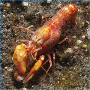 Red Pistol Shrimp or Japanese Snapping Shrimp