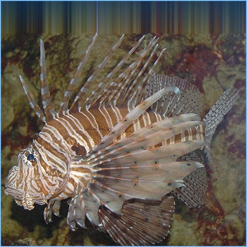 Black Volitan Lionfish or Red Volitan Lionfish