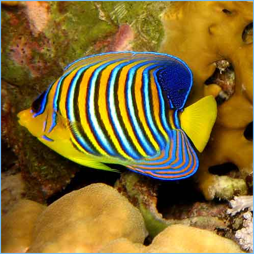 Regal Angelfish or Royal Angelfish