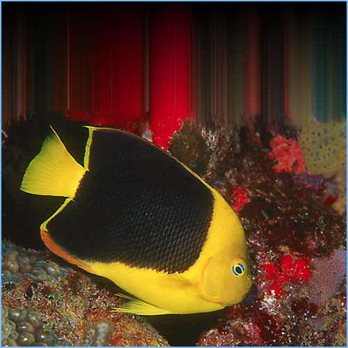 Rock Beauty Angelfish or Yellow Nanny Angelfish