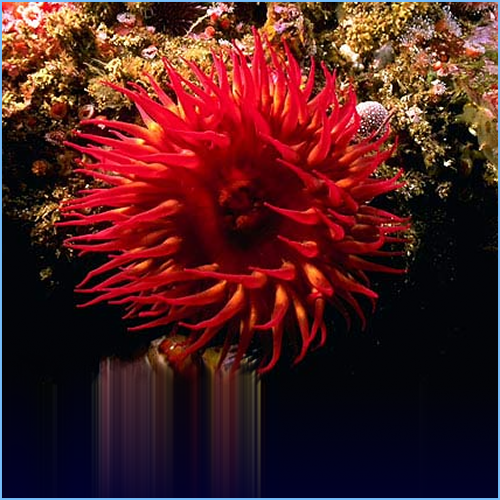 Rose Bubble Tip Anemone or Red Corn Anemone