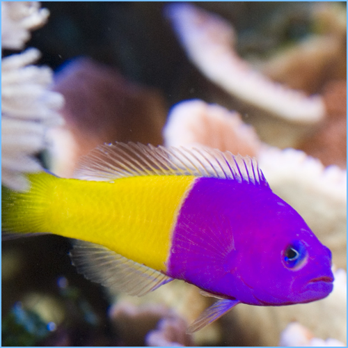 Royal Dottyback Fish or Bicolor Dottyback