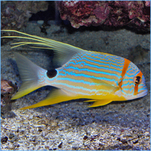 Sailfin Snapper or Blue-Lined Sea Bream