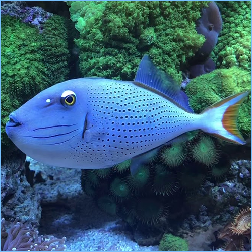 Sargassum Triggerfish or Red Tail Triggerfish