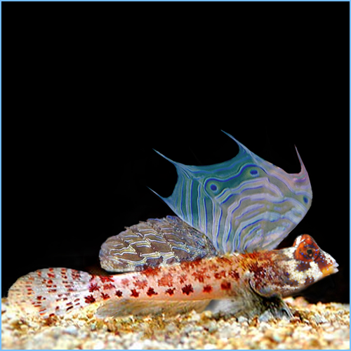 Scooter Blenny or Starry Stellate Dragonet
