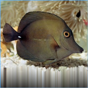 Scopas Tang or Brown Tangfish