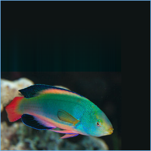 Scott's Fairy Wrasse or Scott's Greenback Fairy Wrasse
