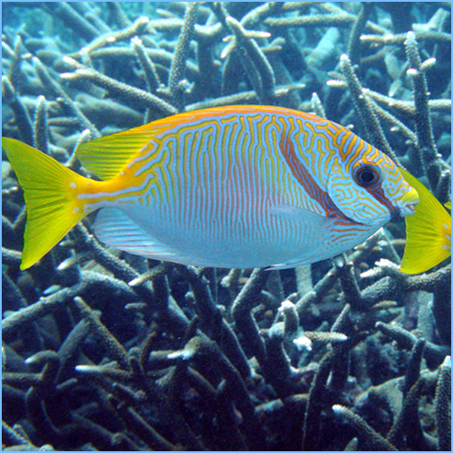 Scribbled Rabbitfish or Barred Spinefoot Fish
