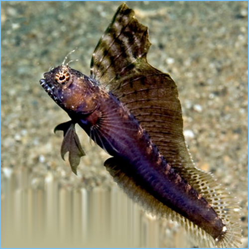 Segmented Sailfin Blenny or Segmented Blenny