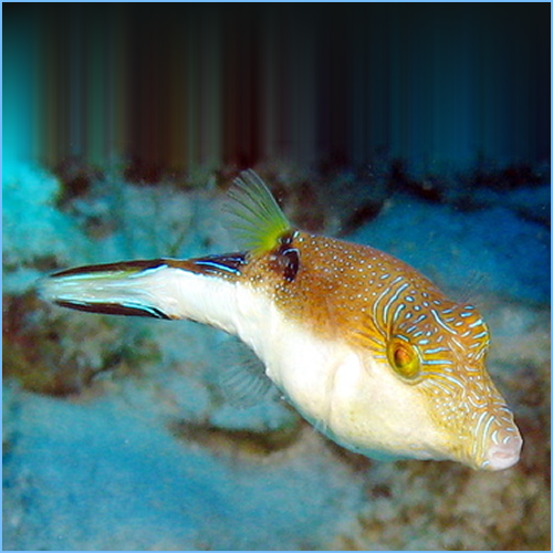 Caribbean Sharpnose Toby or Atlantic Toby Pufferfish