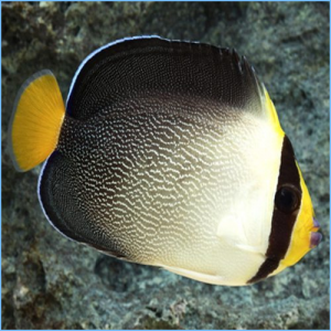 Singapore Angelfish or Vermiculated Angelfish
